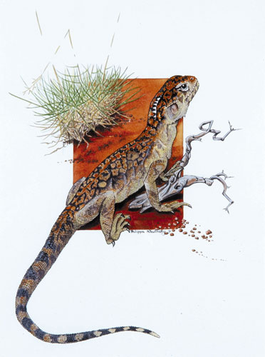 A Central Netted Dragon leaning on a broken branch with red dirt and scrub in the background