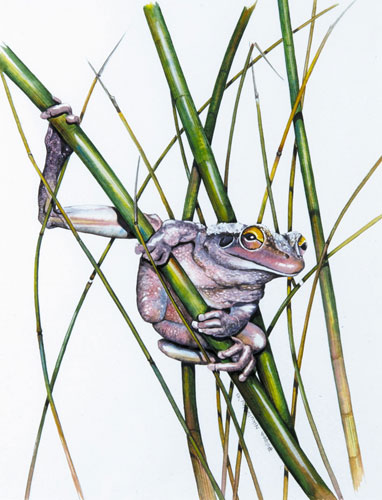 A bull frog clasping a bamboo rush